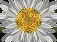 A daisy in 8 reflected sections